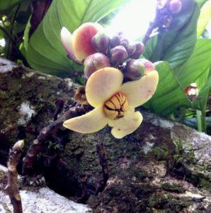 Cocora Plant Liver Cleanse